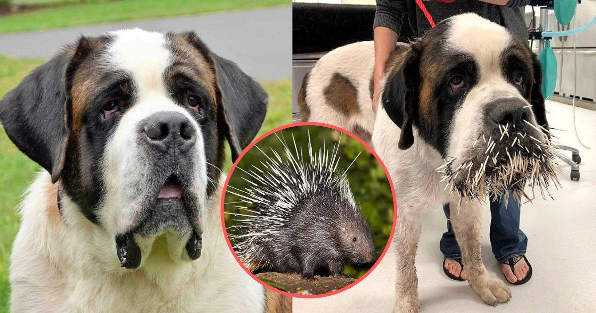 d5 3.png?resize=412,232 - Un pauvre chien s'est retrouvé avec des épines de porc-épic sur tout son visage, sa mâchoire et à l'intérieur de sa bouche