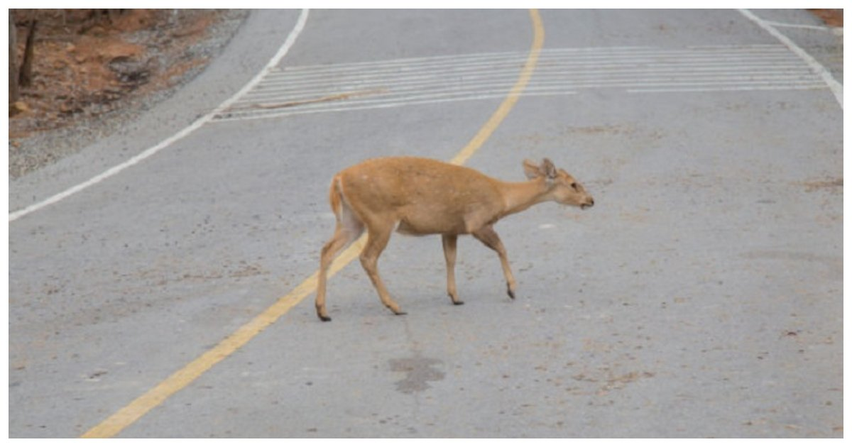deer.jpg?resize=412,232 - Motorist Stops His Vehicle To Rescue A Newborn Fawn That Was Lying In The Middle Of The Road