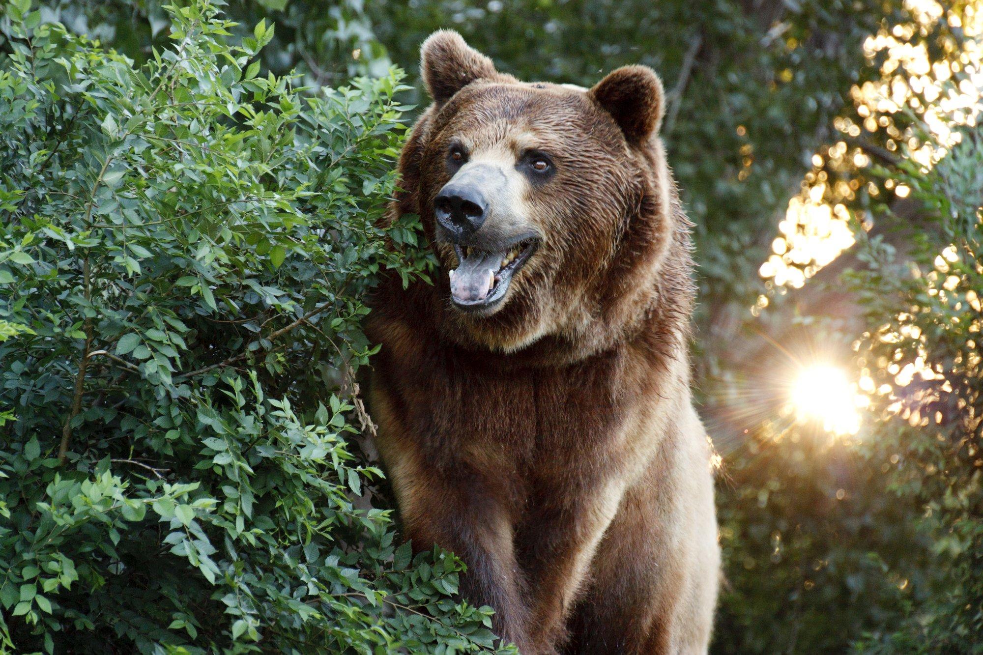 depositphotos 31183327 l 2015.jpg?resize=636,358 - Un juge américain réintègre le grizzli de Yellowstone à la liste des espèces protégées, évitant sa chasse.