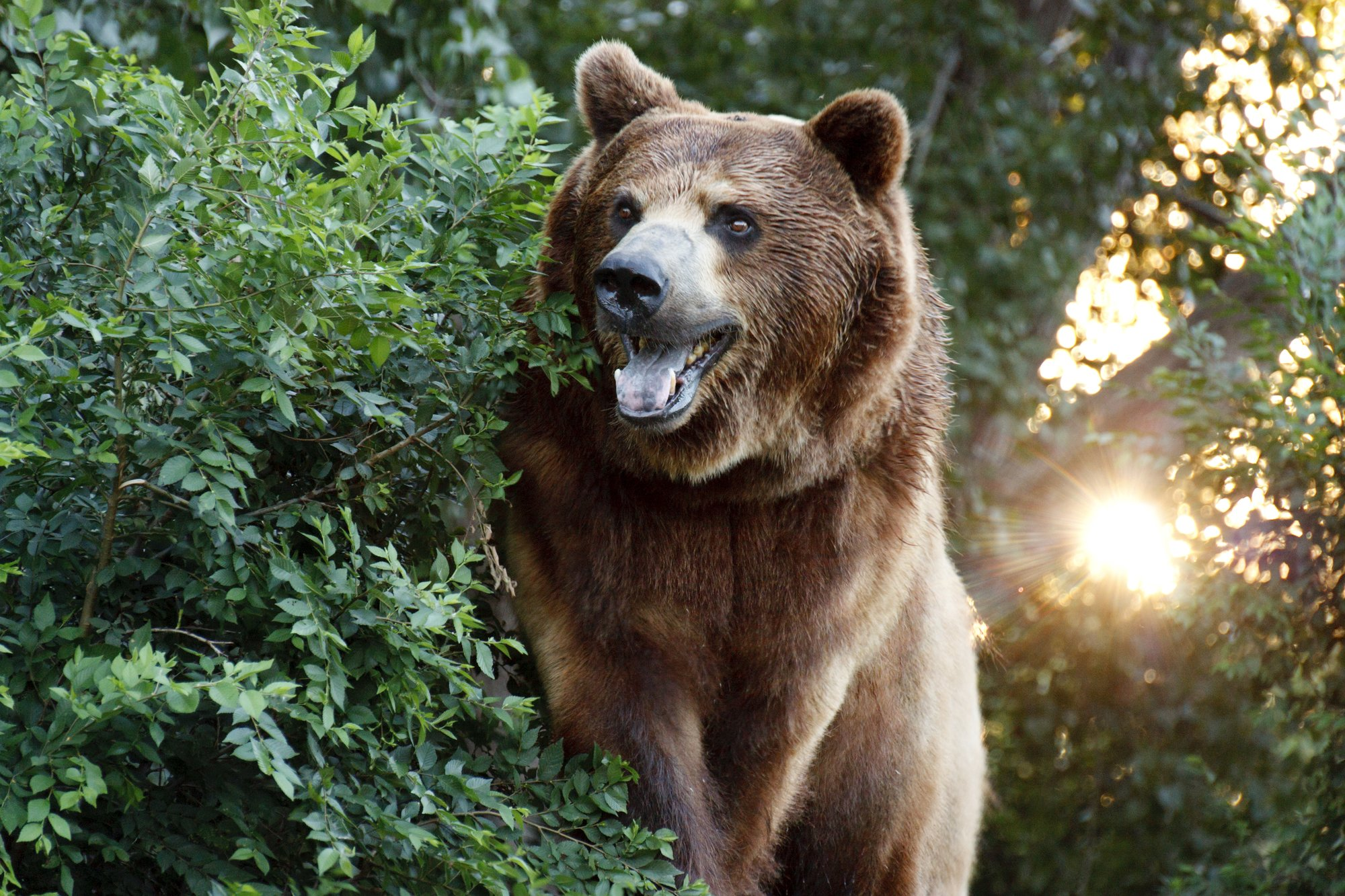 depositphotos 31183327 l 2015.jpg?resize=648,365 - Un juge américain réintègre le grizzli de Yellowstone à la liste des espèces protégées, évitant sa chasse.