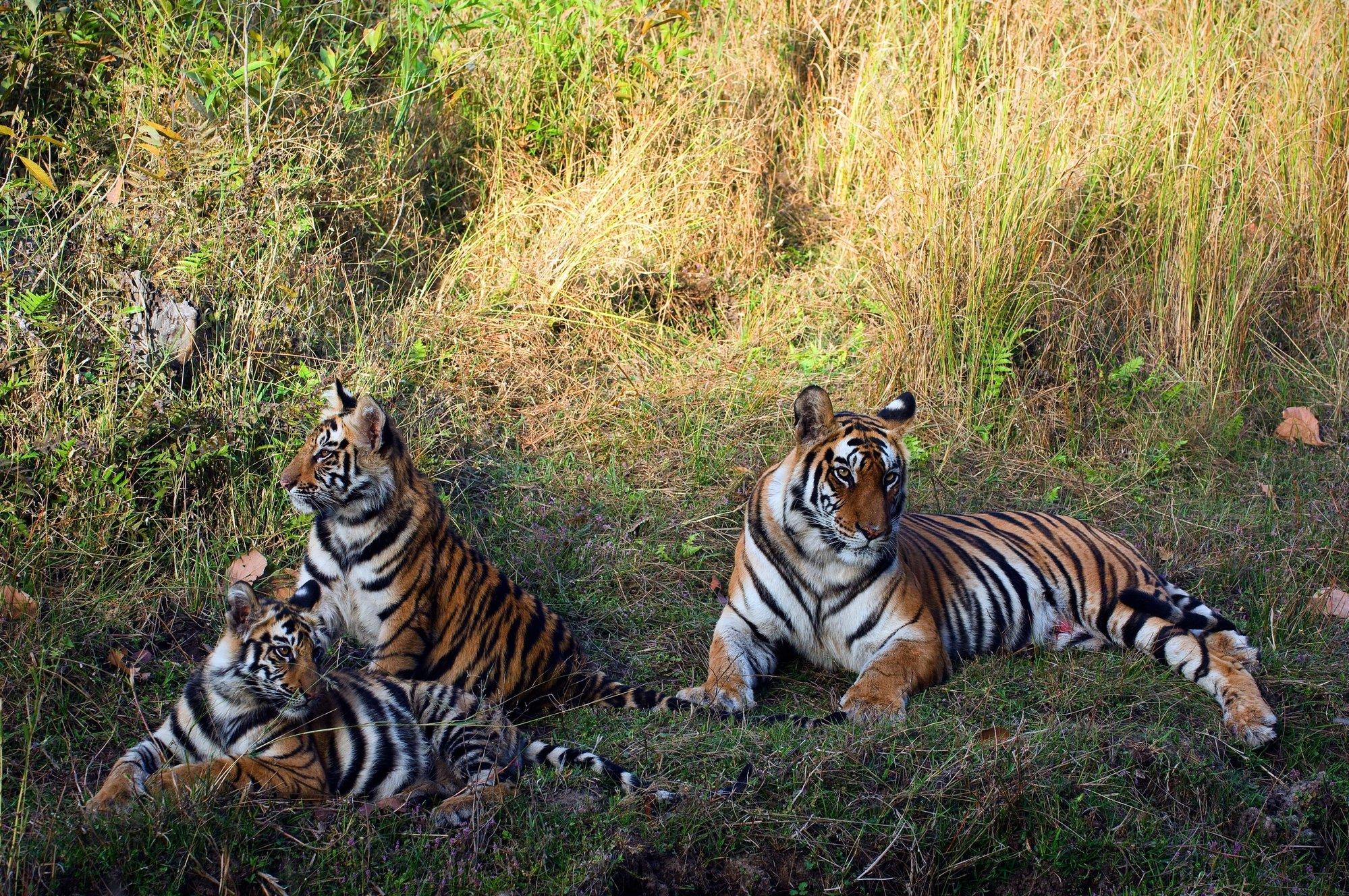 depositphotos 4009233 l 2015.jpg?resize=1200,630 - Exceptionnel ! Au Népal, la population de tigres a doublé en l'espace de 9 ans.