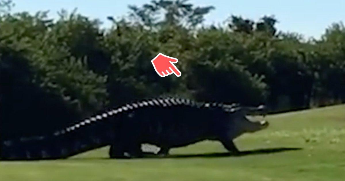 divya1 8.png?resize=300,169 - Chubbs, l'alligator de 18 pieds, fait une visite surprise aux joueurs de golf qui jouent sur le terrain