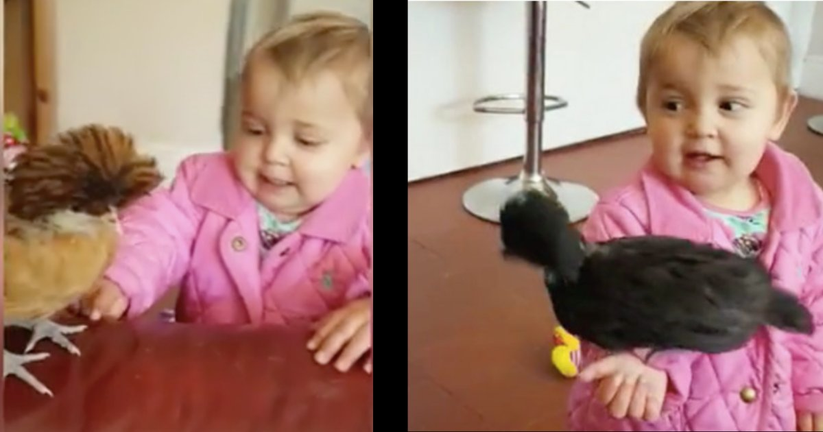 divya7.png?resize=1200,630 - This Toddler Has Two Best Friends- Brown Chicken and Black Chicken