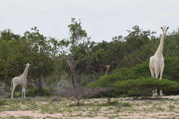 image1.png?resize=412,232 - Une girafe blanche et son petit aperçus dans une réserve du Kenya.