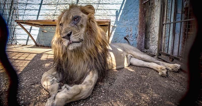 """lion.jpg?resize=412,232 - En Albanie, des animaux sont évacués du """"zoo de l'enfer""""."""