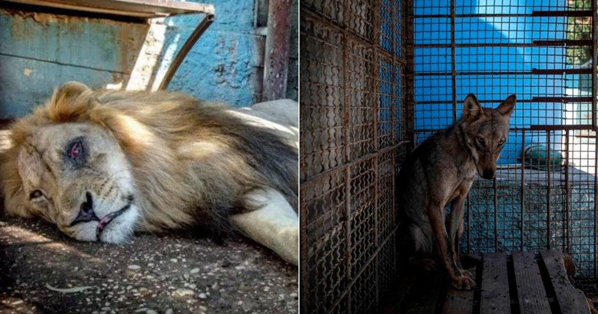"""lion2.jpg?resize=412,232 - Les autorités ont fermé le """"zoo de l'enfer"""" et sauvé des dizaines d'animaux mal nourris"""