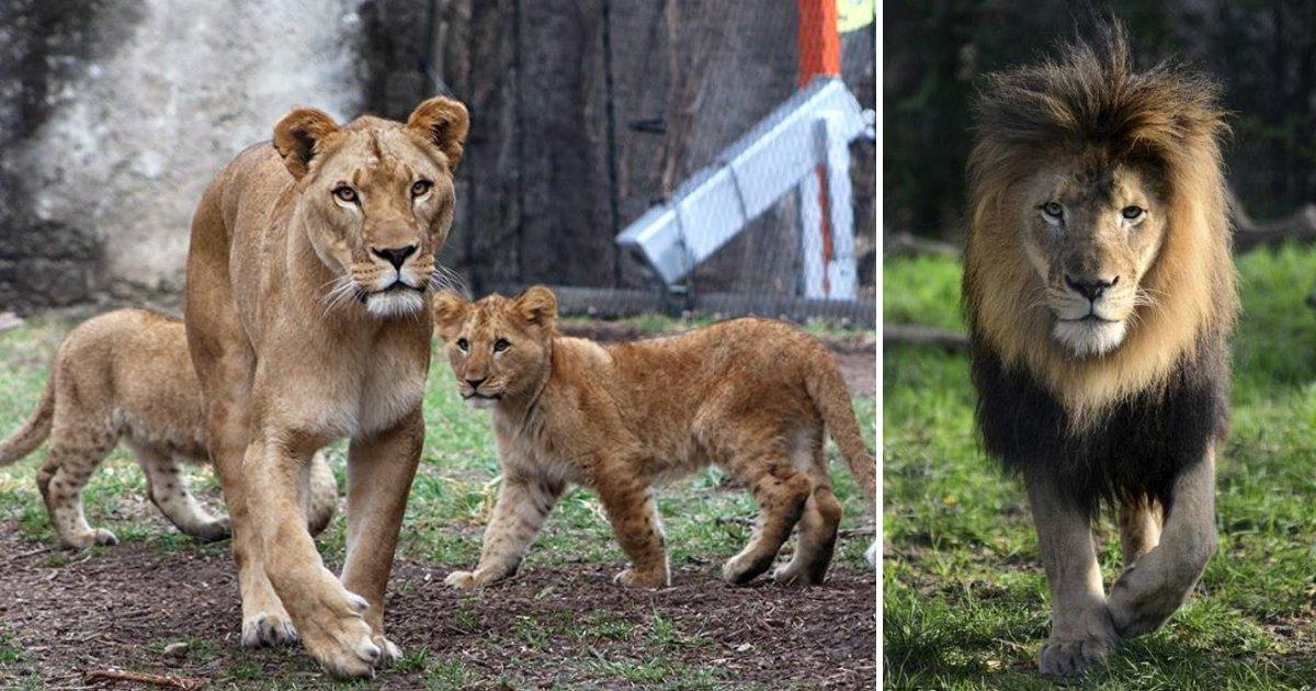 lions.jpg?resize=1200,630 - Un lion âgé de 10 ans meurt après l'attaque de la lionne qui était la mère des ses enfants