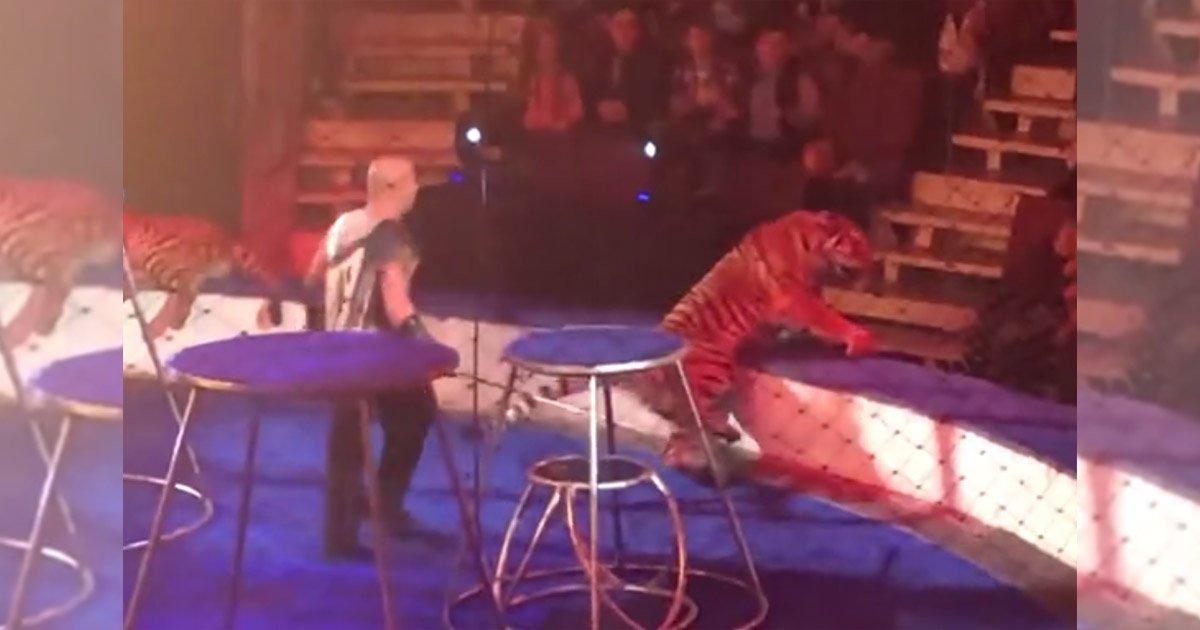 mainphoto tigre.jpg?resize=1200,630 - [Vidéo] Un tigre de cirque fait une crise d'épilepsie en plein spectacle.