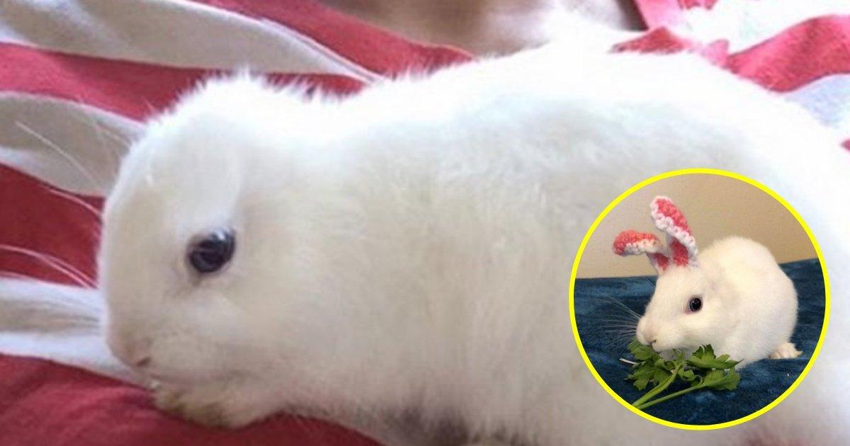 mimi5.jpg?resize=412,232 - Un lapin à trois pattes est né sans oreilles, son propriétaire lui en fabrique