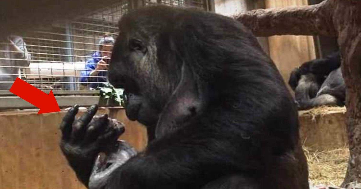 moke6.png?resize=636,358 - Photos Of Mother Gorilla Calaya Cradling Newborn Baby Moke Melt Everyone's Hearts