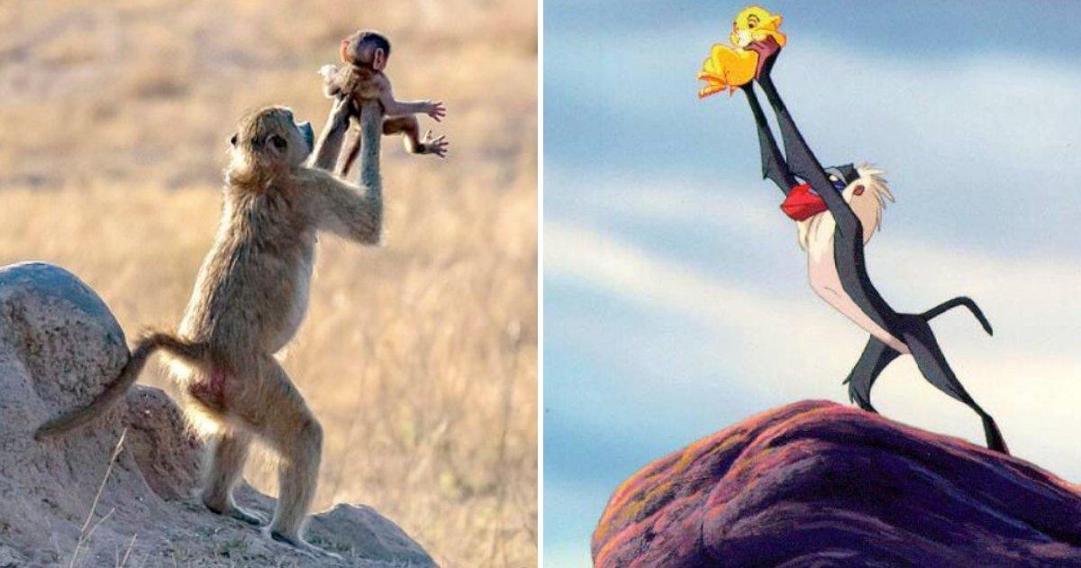 rafiki2.jpg?resize=1200,630 - Le cercle de la vie : Un babouin porte son bébé dans les airs, à l'image de Rafiki dans le roi lion