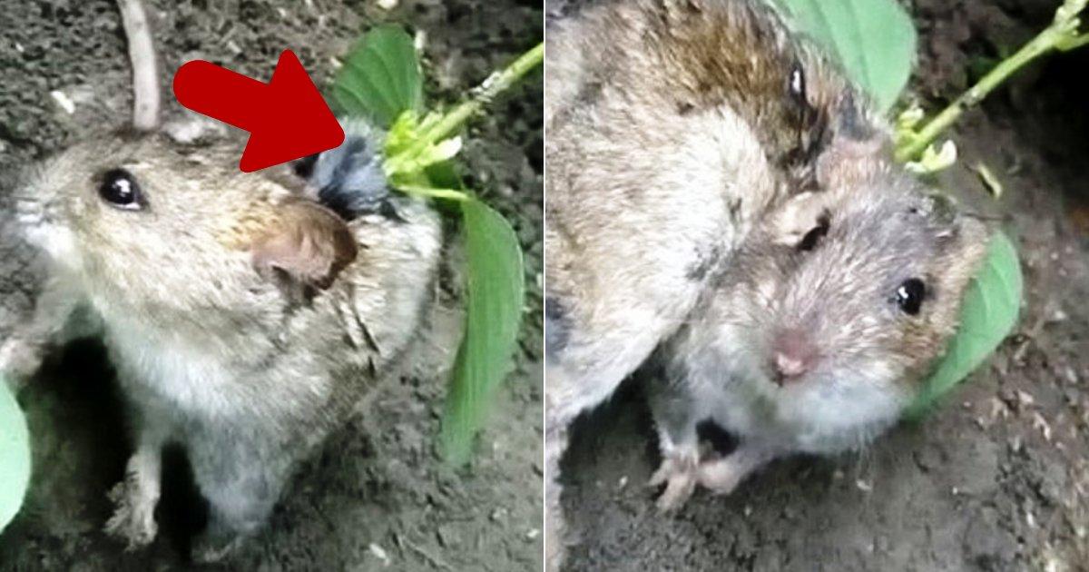 rat4 1.png?resize=300,169 - Un fermier a trouvé un rat vivant avec une plante de soja qui poussait dans son dos après qu'une graine soit tombée dans sa plaie ouverte