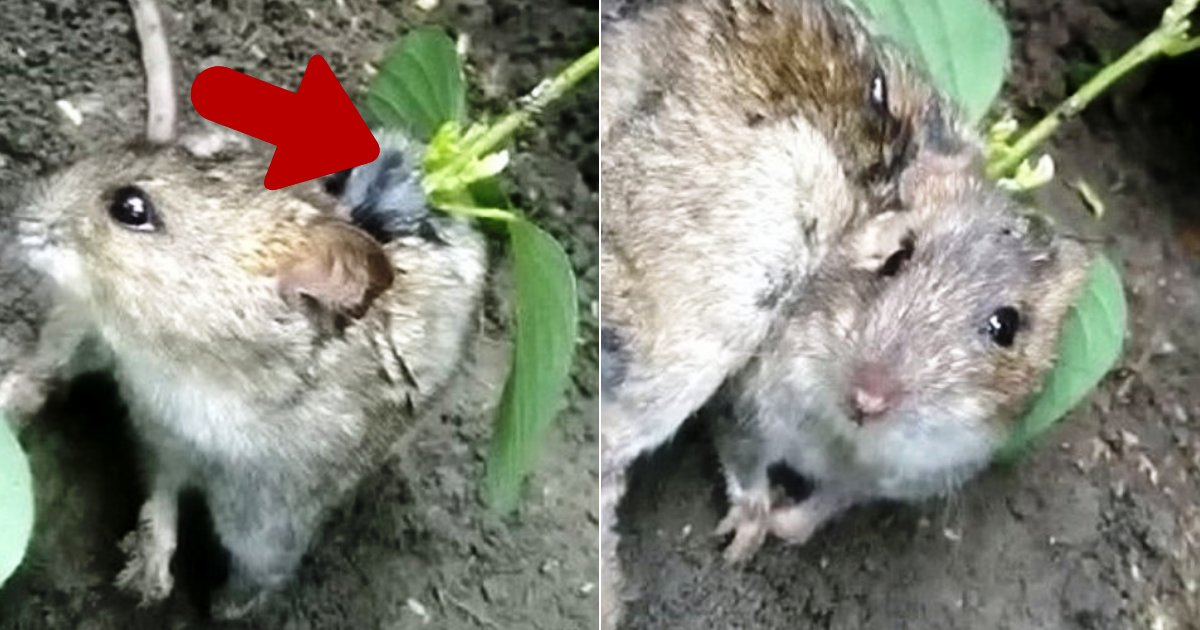 rat4 1.png?resize=412,232 - Farmer Found A Live Rat With Soya Plant Growing Out Of Its Back After A Seed Fell Into Its Open Wound