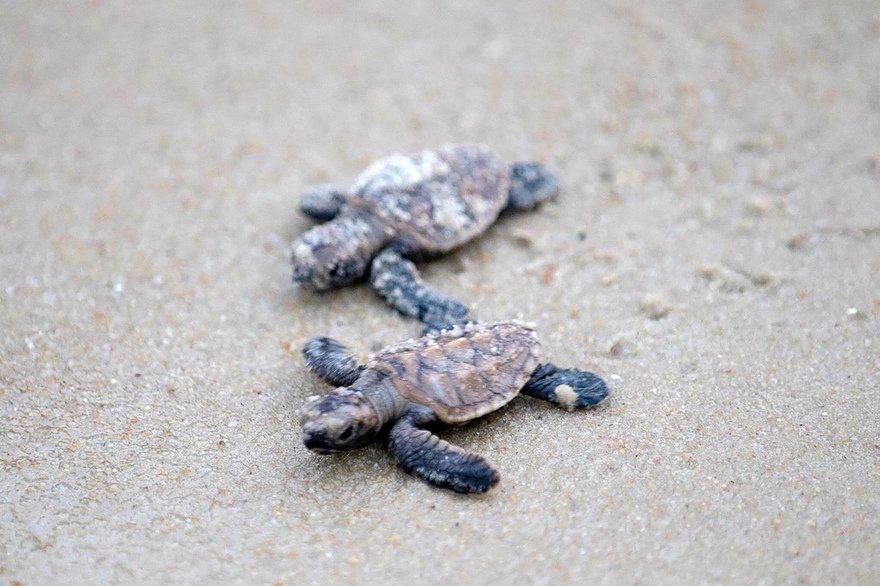 tortues.jpg?resize=412,232 - Exceptionnel : Naissance de 66 tortues marines dans l'Hérault