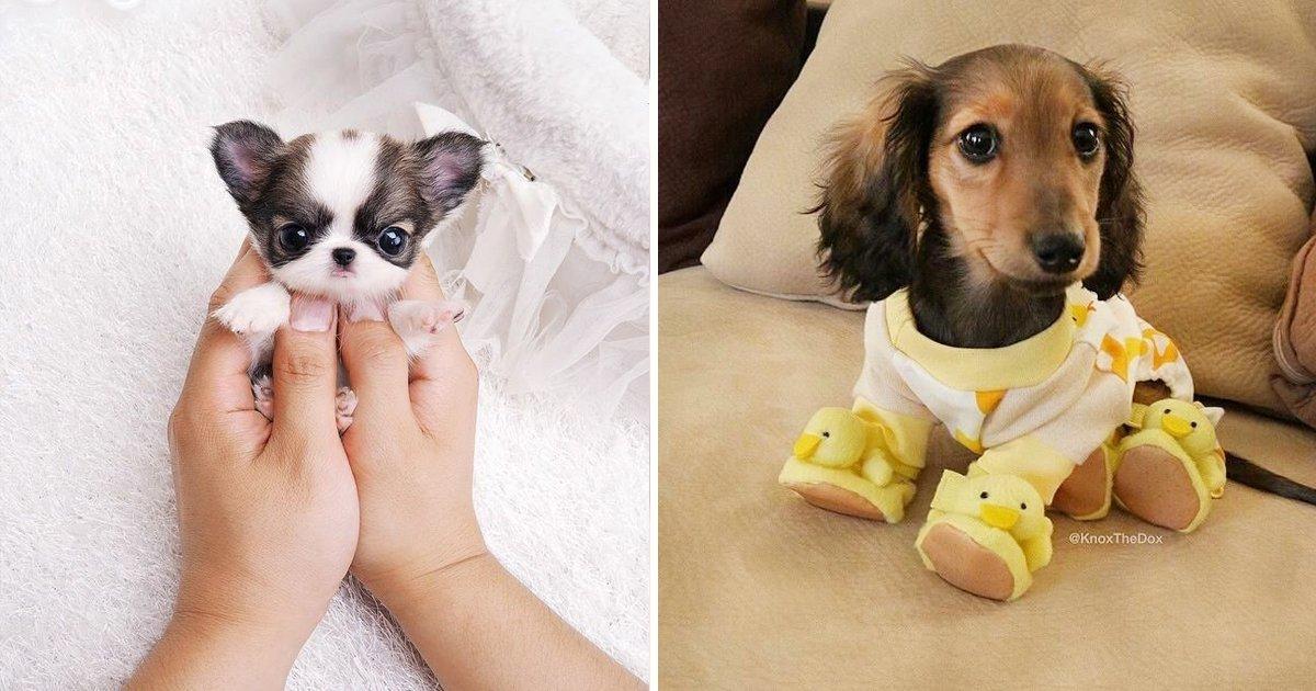 unknown 3.jpg?resize=636,358 - Los 20 mini perros más adorables que verás hoy