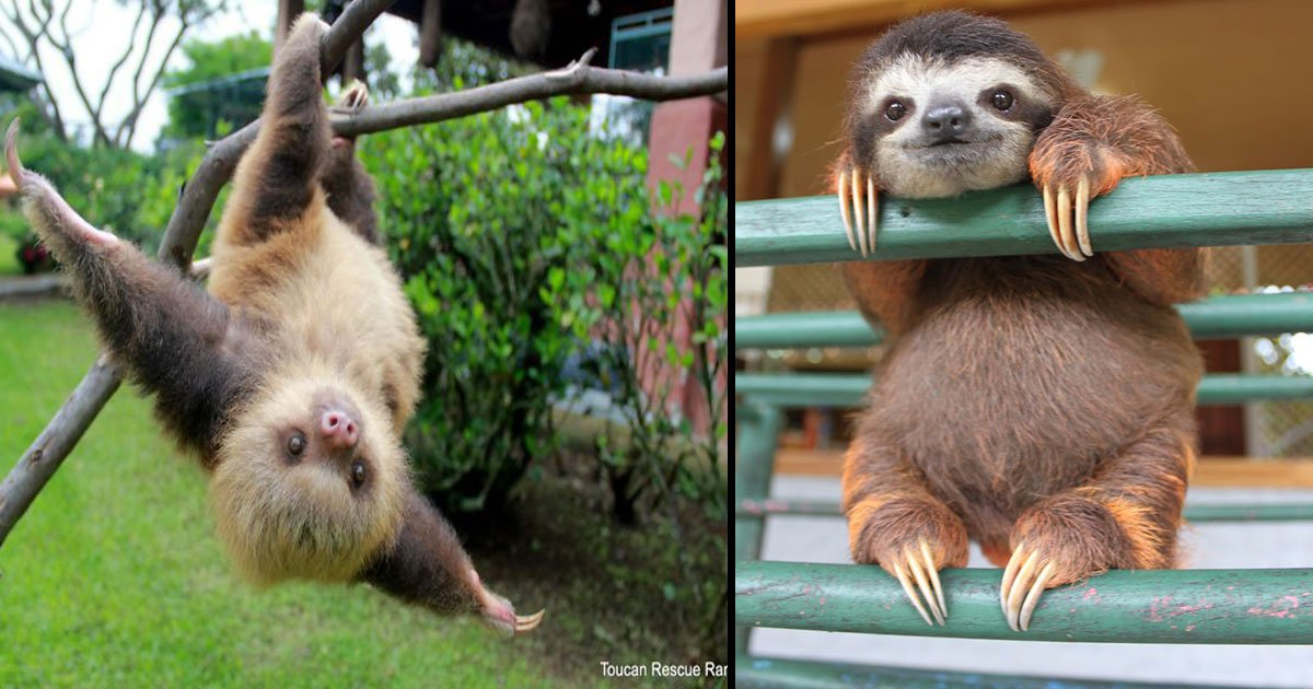 untitled 1 90.jpg?resize=1200,630 - 15 Cutest Sloth Pictures To Celebrate International Sloth Day