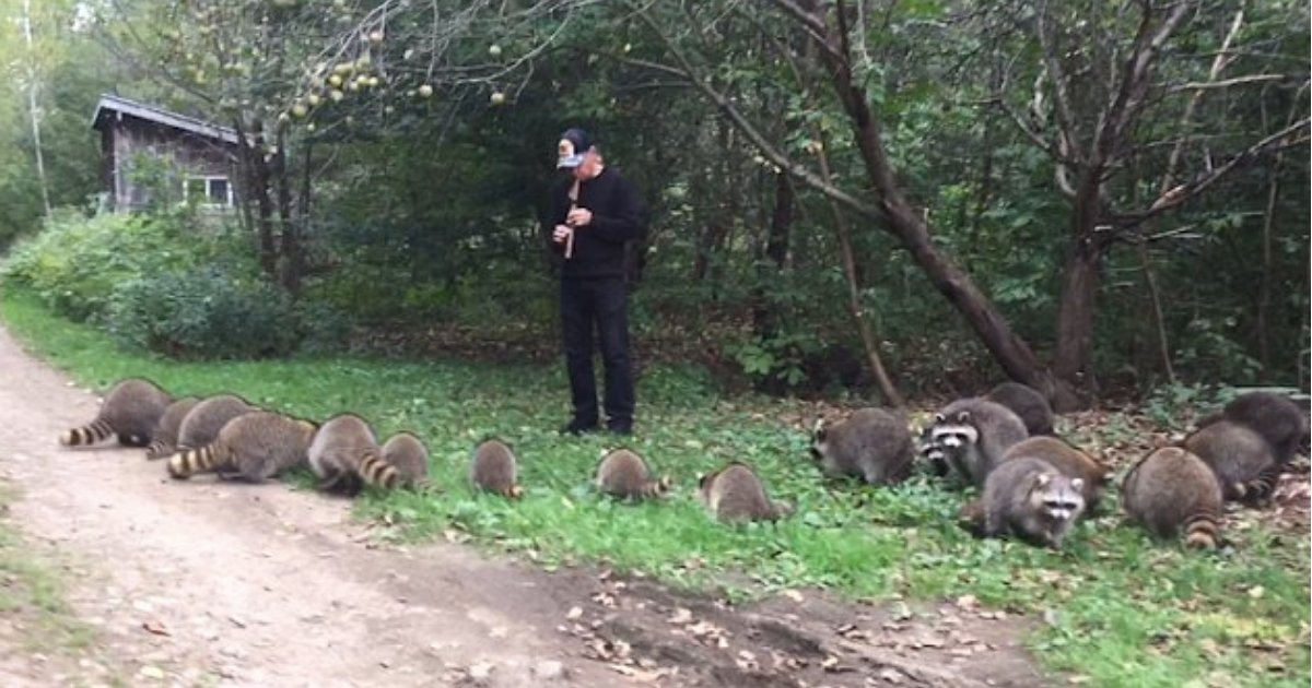 untitled design 1 2.png?resize=636,358 - A Pied Piper From Upstate New York Summons Wild Raccoons with His Native American Flute And This Was A WOW Moment