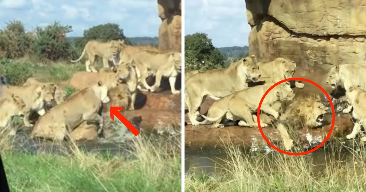 untitled design 1 4.png?resize=1200,630 - Lioness Pride Attacks Male Lion In Safari Park In Front Of Stunned Tourists