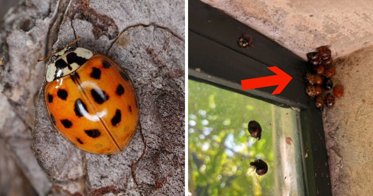 untitled design 41.png?resize=636,358 - Cannibal Ladybugs Carrying STIs, Invading Homes, And Threatening Native Species!
