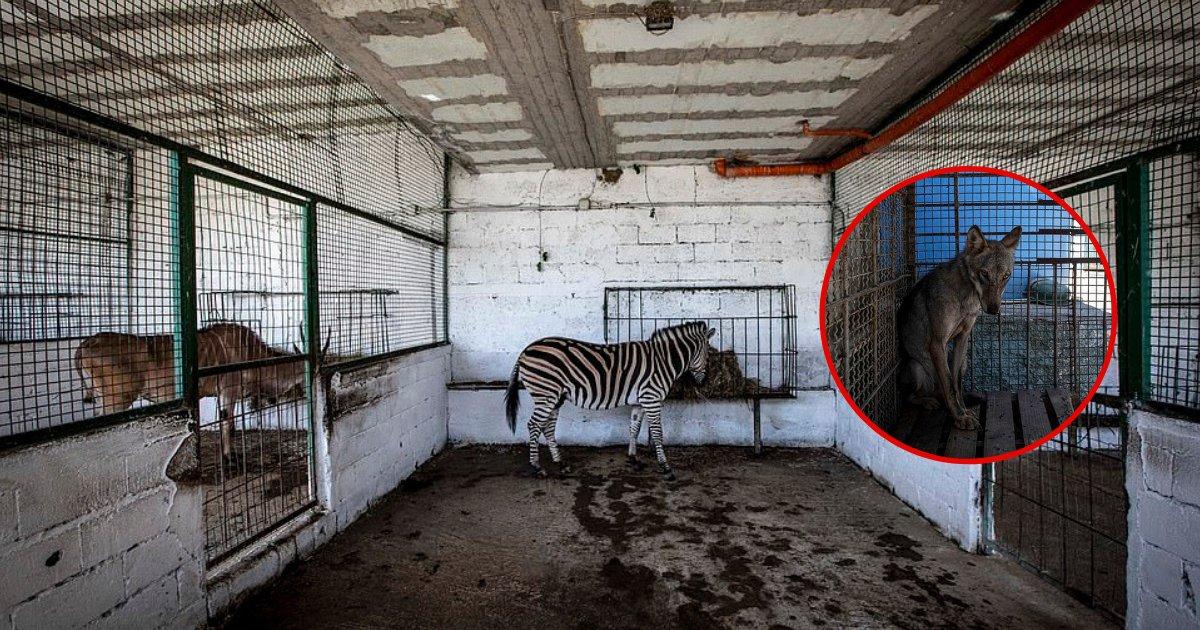 untitled design 69 1.png?resize=1200,630 - ZOO de l'enfer: des animaux souffrant de malnutrition sauvés d'un zoo illégal en Albanie