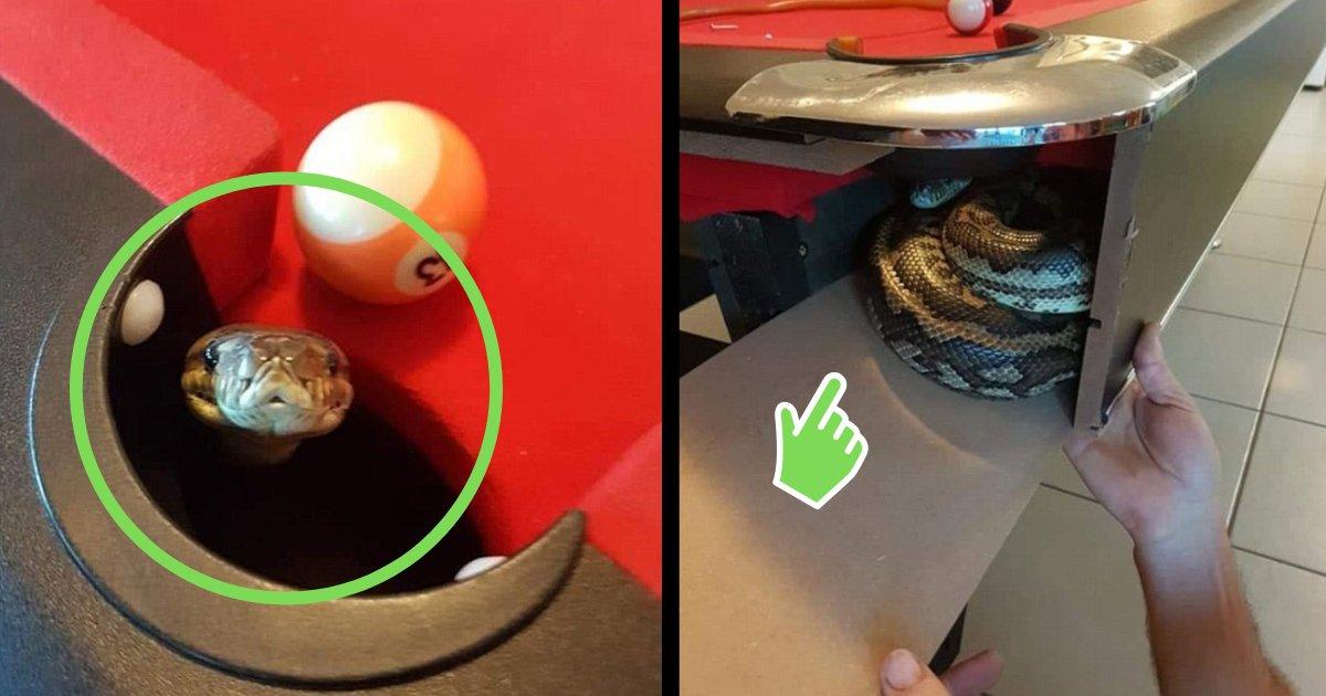 y3.png?resize=1200,630 - Un python se retrouve coincé dans une table de billard, heureusement sa famille le sauve !