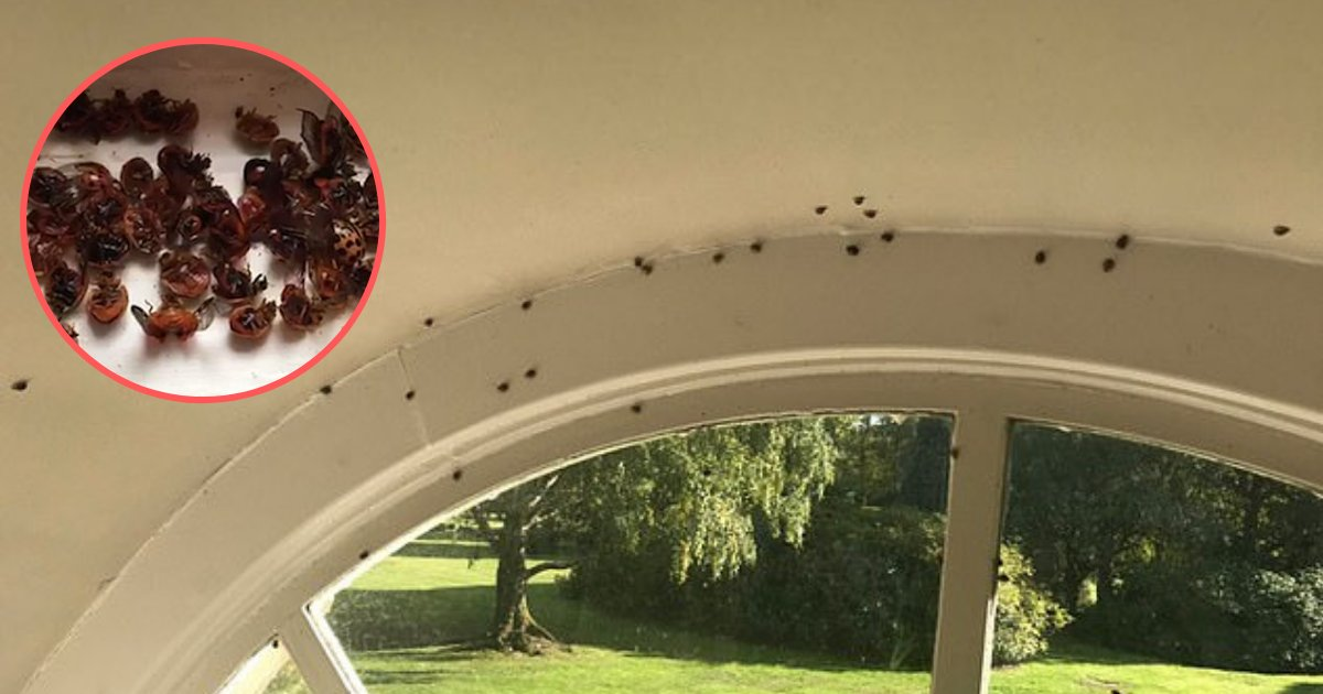 yogesh1 8.png?resize=1200,630 - Harlequin Ladybirds are Invading Houses in England and House Owners are Moved to See Such a Spine Chilling View