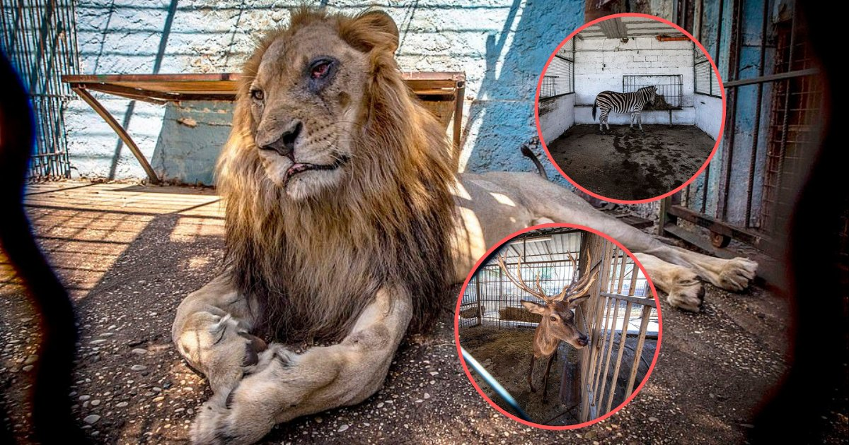 yogesh3 9.png?resize=412,232 - Lion Along With many Other Animals Is Mistreated in Safari Park Zoo In Albania