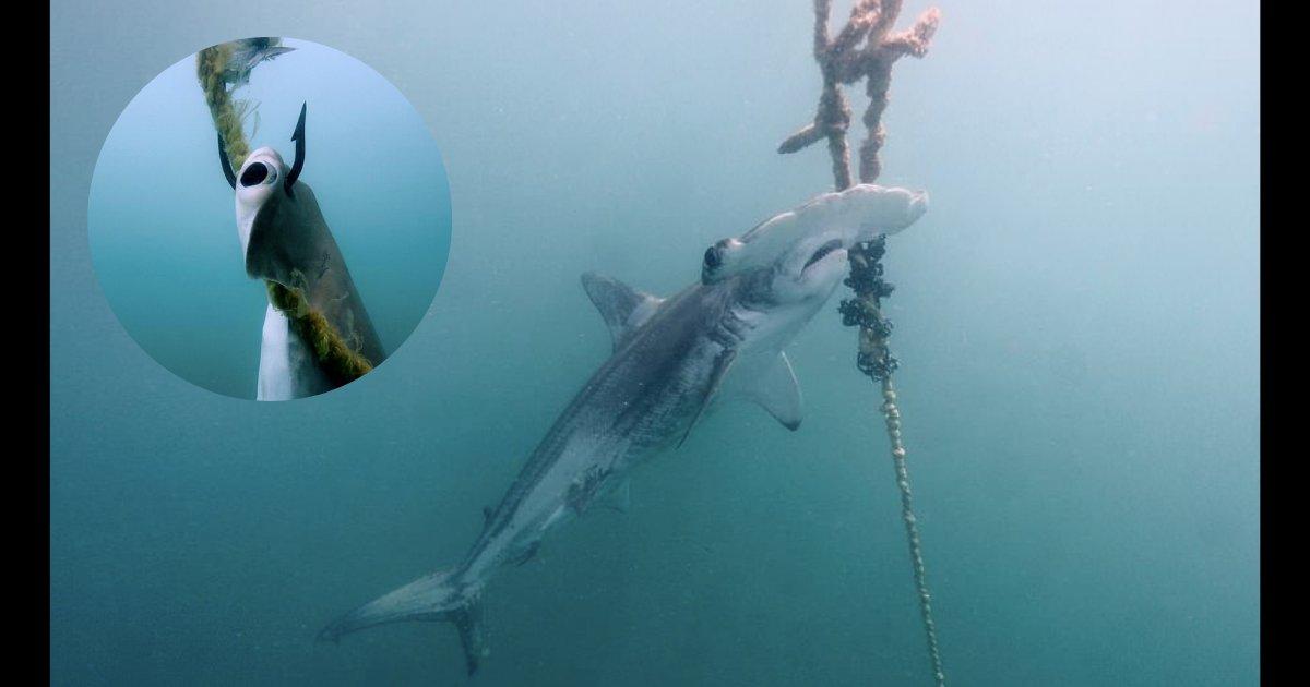 yogesh6.png?resize=300,169 - Ces images montrent la vérité sur le fait d'empaler les requins dangereux pour protéger les touristes