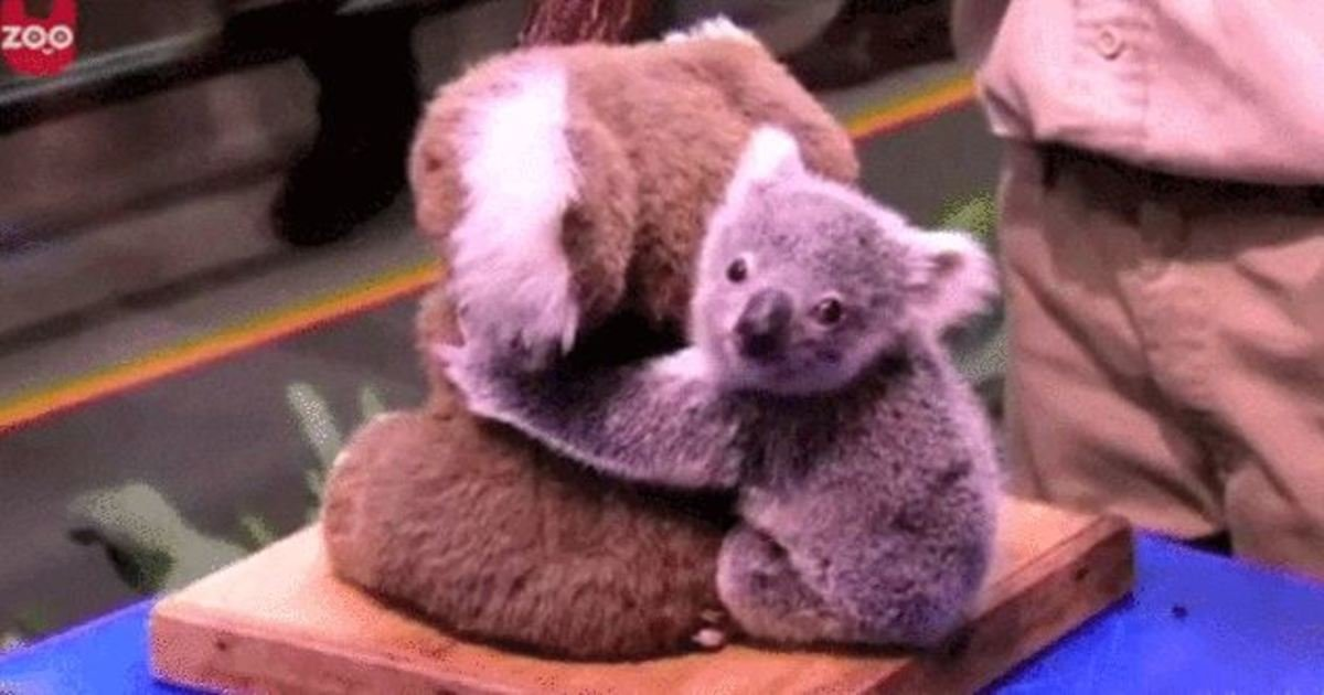 1 160.jpg?resize=1200,630 - 17 Facts You Probably Didn't Know About Koalas. The Last One Is Heartbreaking.