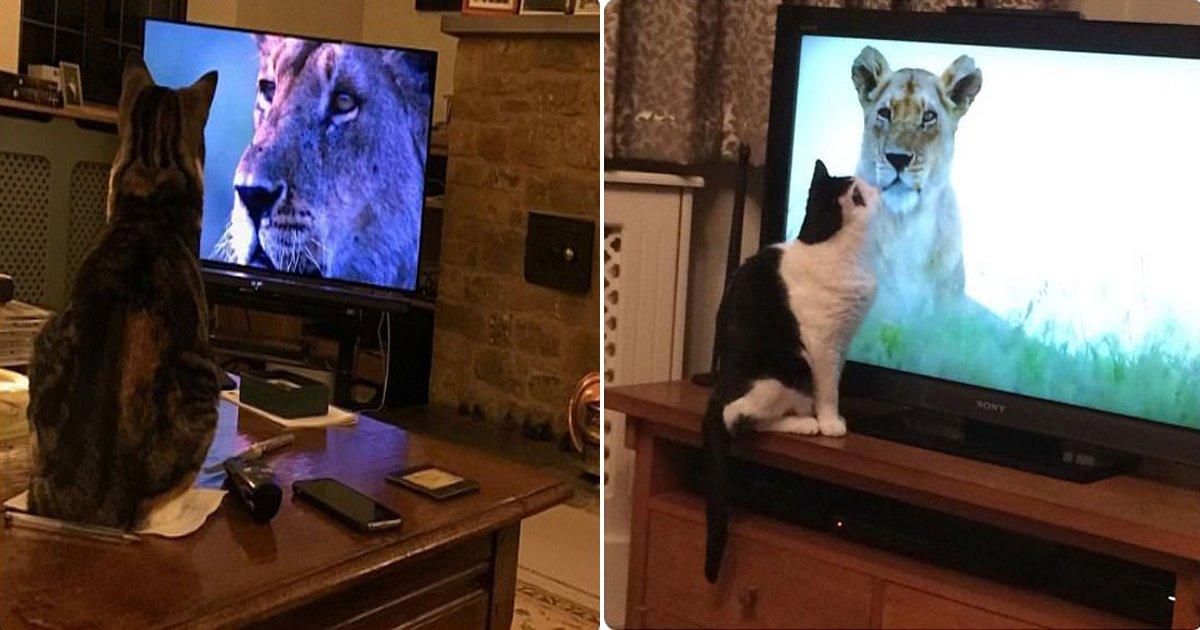 1129 thumb 4 1.jpg?resize=412,232 - TV 속 '사자'에 반해 다큐멘터리 시청하는 '고양이'들