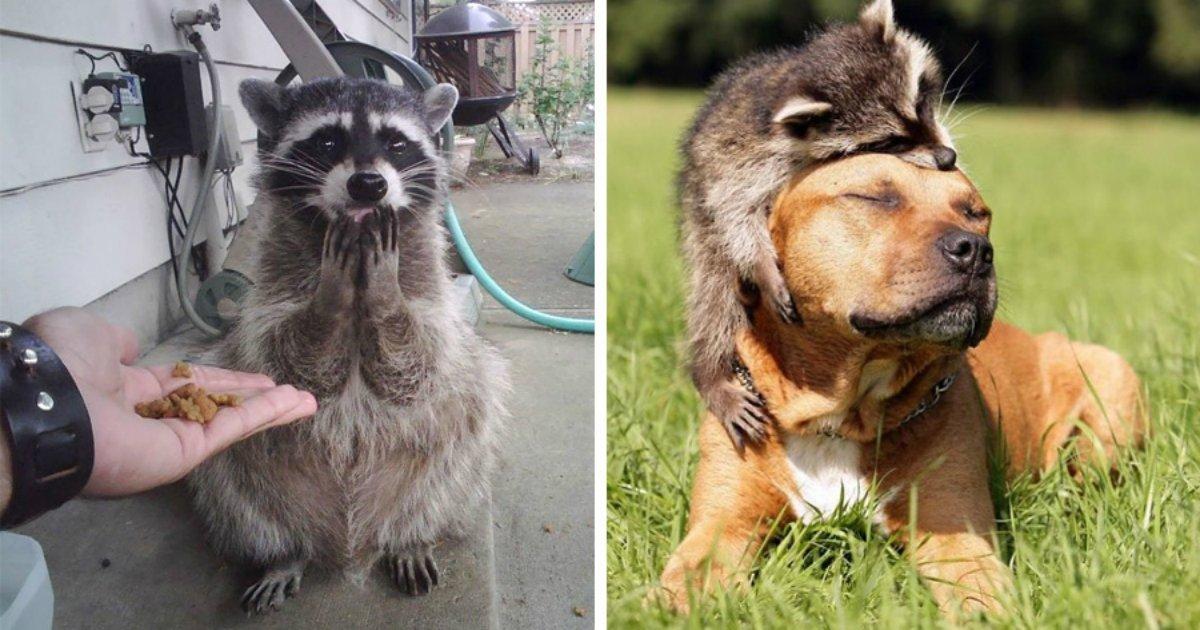 17 6.jpg?resize=1200,630 - 30 photos prouvant que les ratons laveurs sont les animaux les plus drôles du monde