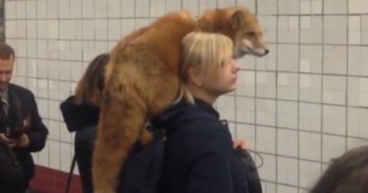 181124 103.jpg?resize=412,232 - 戰鬥民族就是狂!俄羅斯人帶上街的寵物是棕熊、狐狸和??