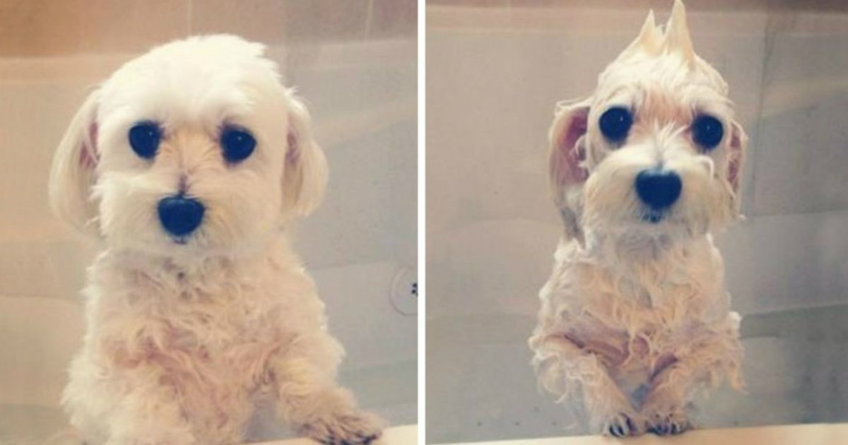 19 1.jpg?resize=1200,630 - 20 Funny Photos of Dogs Before and After Bath Time