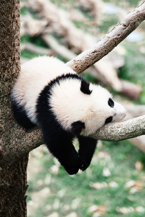 Image result for panda sleeping in a tree