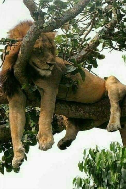 Image result for lion sleeping in a tree