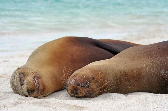 Image result for focas dormidas