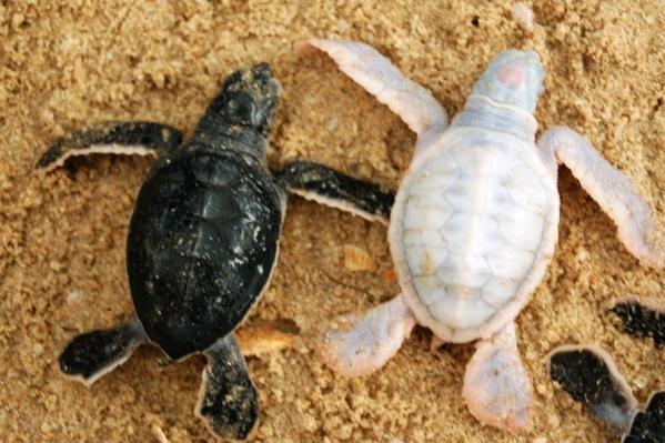 Resultado de imagen de tortuga albina