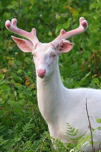 Resultado de imagen de ciervo albino