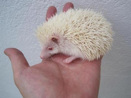 Resultado de imagen de erizo albino