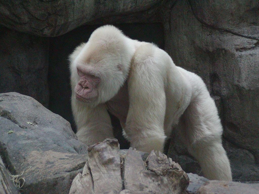 Resultado de imagen de gorila albino