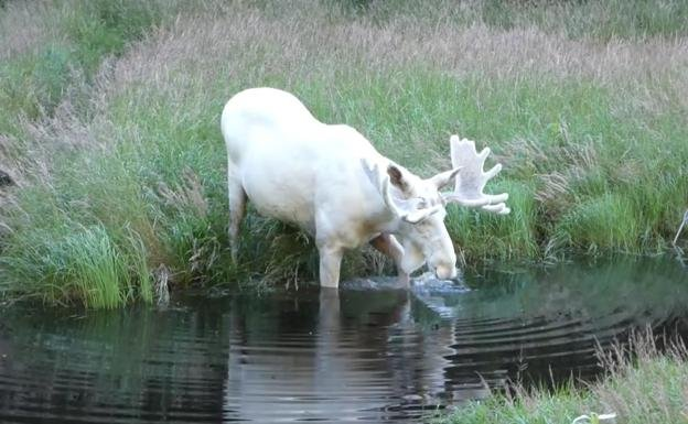 Resultado de imagen de alce albino