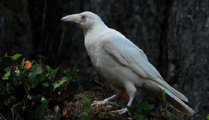 Resultado de imagen de cuervo albino