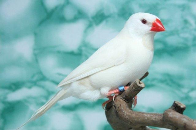 Resultado de imagen de pinzon albino