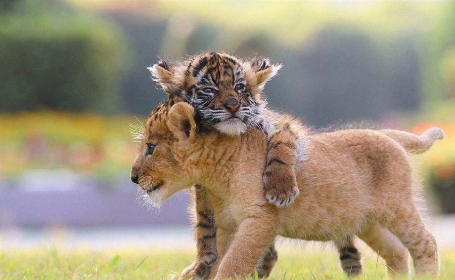 Resultado de imagen de leon bebe