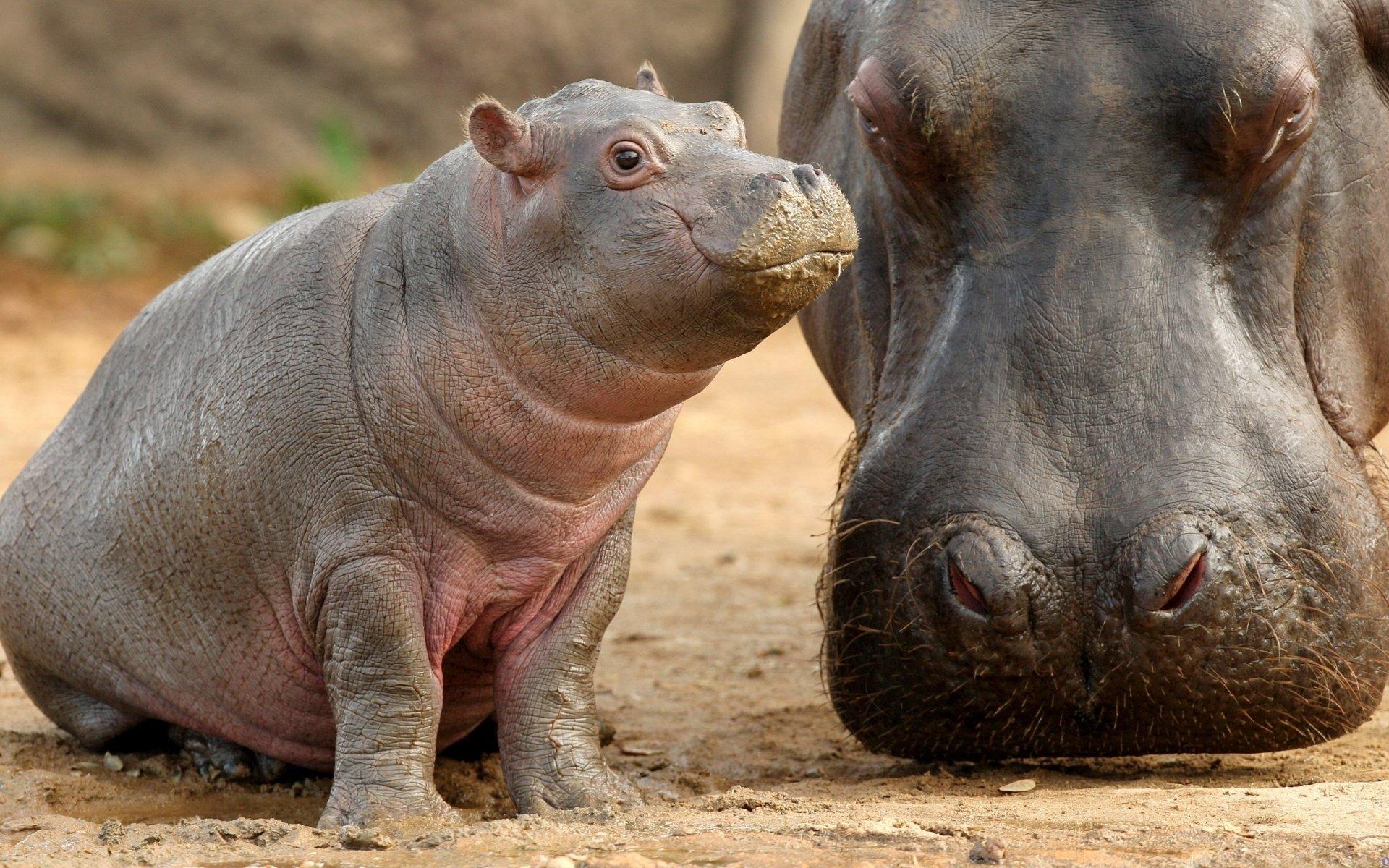 Resultado de imagen de hipopotamo bebe