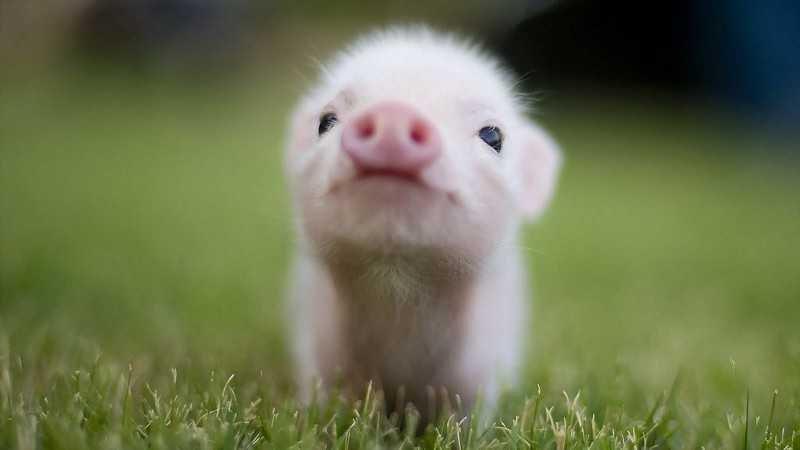 Resultado de imagen de cerdo bebe