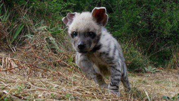 Resultado de imagen de hiena bebe