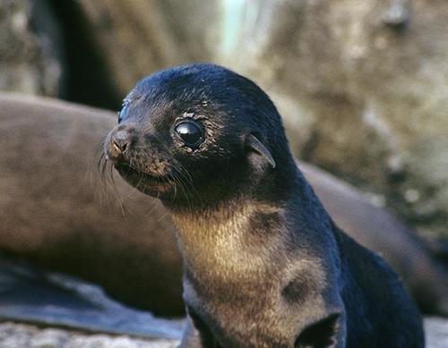 Resultado de imagen de lobo marino bebe