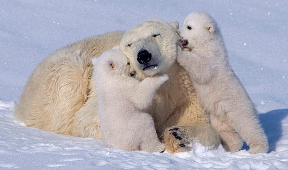 Image result for mom polar bear