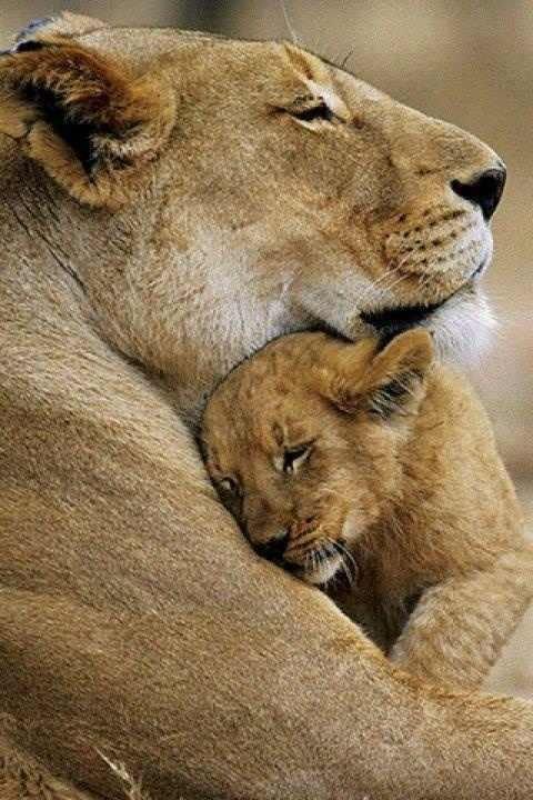 Image result for mom lion love